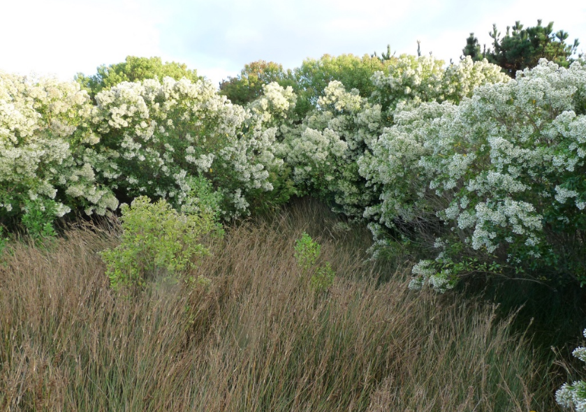 Le Séneçon en arbre (Baccharis hamilifolia) est une espèce exotique envahissante sur le littoral breton, originaire des États-unis.