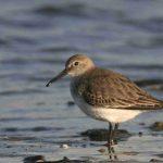 Étude ornithologique de l'estuaire de la Loire
