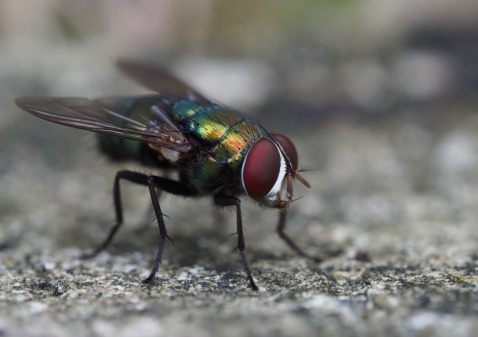 Utiliser les mouches comme révélateurs de la biodiversité animale !
