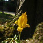 Préservation de la Tulipe sauvage à Villiers-sur-Marne.